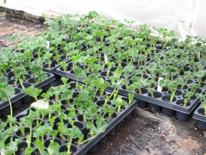 fresh geranium cuttings