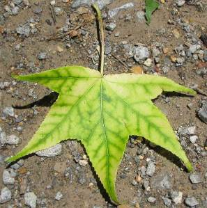 Sweetgum-leaf-interveinal-chlorosis