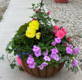 This nice little shade basket shows that you can still get a lot of color even in the shade. The impatiens and non-stop begonia fill in nicely, and the lobelia, fuschia, and ivy will trail nicely.