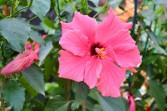 pink hibiscus