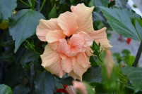 double apricot hibiscus