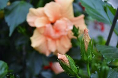 apricot hibiscus