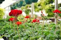 """Tango """"Velvet"""" geranium"""