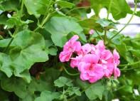 new geranium