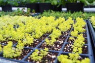 golden sedum starts