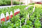 new varieties of million bells
