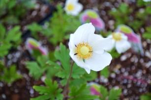 anemone (windflower)