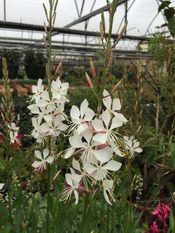 white Gaura--makes a great centerpiece for pots and baskets